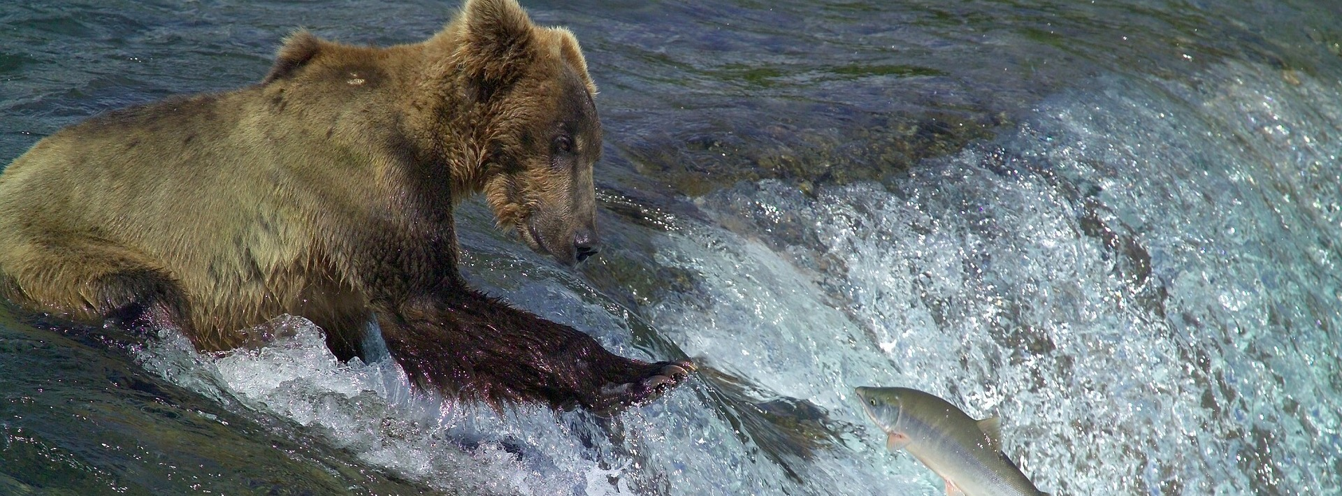 kodiak-brown-bear-2042153_1920